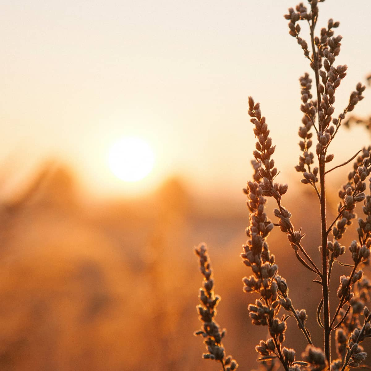 a golden sunrise over a wheat field in the background.