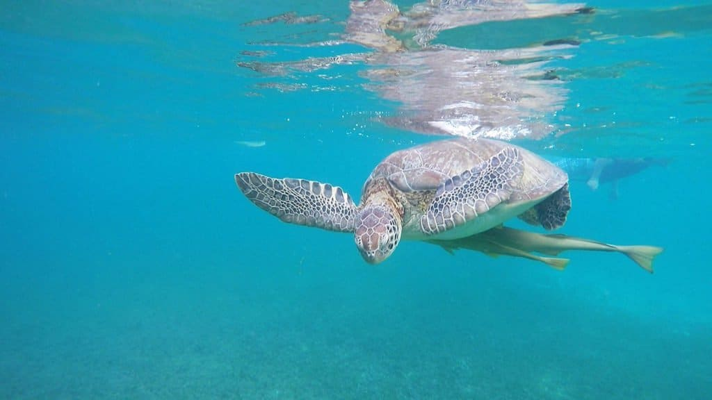 Have you always dreamed of swimming with sea turtles? Then check out this post; you'll find photos, video and all the details on how to plan your own trip to Akumal, Mexico (only a short trip from Cancun, Playa del Carmen, or Tulum!)