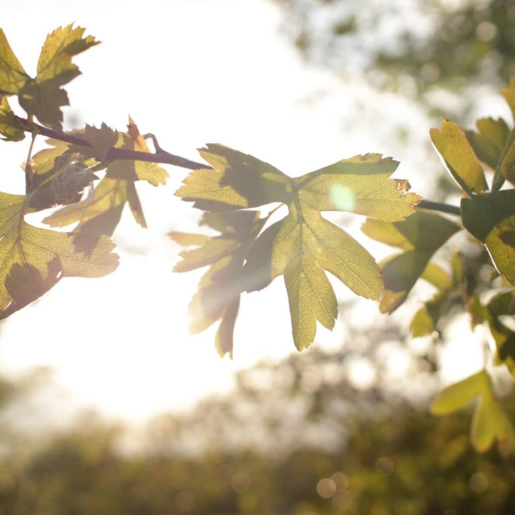 The sun shining through green leaves.